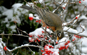 Overwintering robin eating winterberries