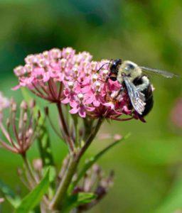 Bumblebee nectaring on swamp milkweed