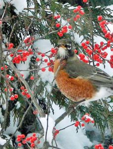 Robins are overwintering